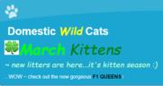 Domestic Wild Cats Logo