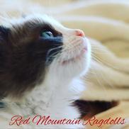 Red Mountain Ragdolls Logo